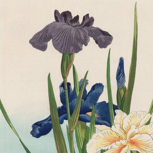Hodo Nishimura - Iris (featured)